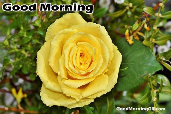 Good Morning Wishes With Rose Flower