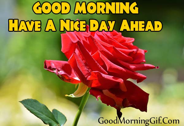 Good Morning Red Rose Image